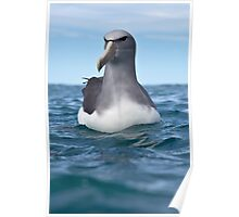 Salvin's Albatross - New Zealand Poster