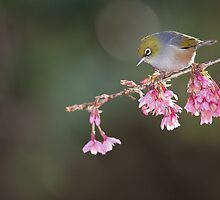 Silvereye and Blossom by Kimball Chen