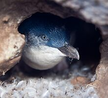 Blue Penguin - New Zealand by Kimball Chen