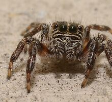 Jumping Spider by Macky