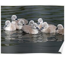 Baby Cygnets on Lake Poster