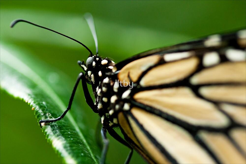 Monarch by Josie Eldred