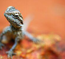 Bearded Dragon by voir