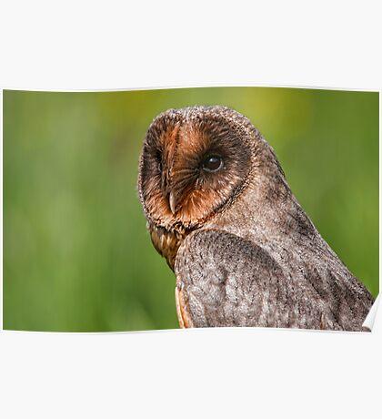 Black Barn Owl Poster