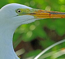 Great white egret portrait by jozi1
