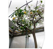 The Citrus tree Poster