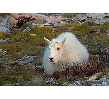 Baby Mountain Goat in the fall Photographic Print