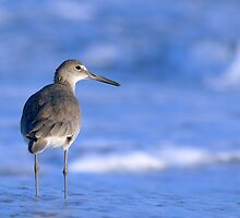 Willet in the Water by Heather Pickard