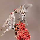 Common Redpolls by Michael Cummings