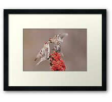 Common Redpolls Framed Print