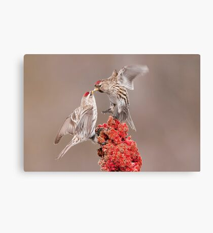 Common Redpolls Canvas Print