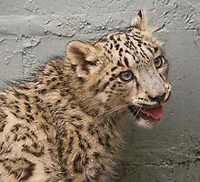 Young Snow Leopard  Nina by Elaine123