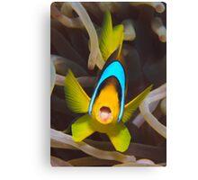 Red Sea anemonefish Canvas Print