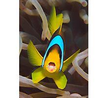 Red Sea anemonefish Photographic Print