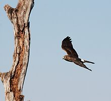 Northern Harrier Hunting by Gail Falcon