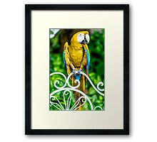 Yellow Macaw Framed Print