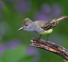 Great Crested Flycatcher and wild flox by PixlPixi