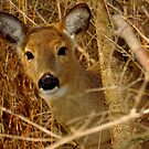 Peek A Boo (White-tailed Deer) by Robert Miesner