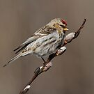 Spring is in the Air (Carduelis flammea - Common Redpoll) by Bill McMullen