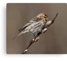 Spring is in the Air (Carduelis flammea - Common Redpoll) Canvas Print