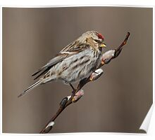 Spring is in the Air (Carduelis flammea - Common Redpoll) Poster