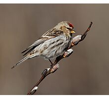 Spring is in the Air (Carduelis flammea - Common Redpoll) Photographic Print