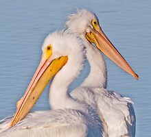 Pelican Pair by noffi