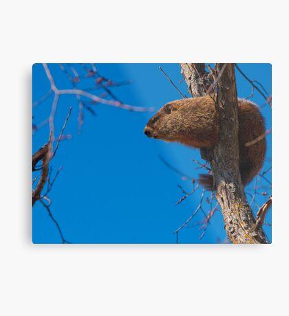 Groundhog up a Tree Metal Print