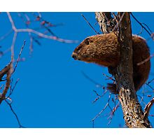 Groundhog up a Tree Photographic Print