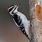 Hairy Woodpecker by Bill McMullen