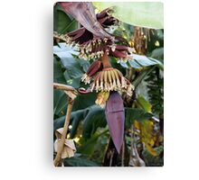 red banana florescence Canvas Print