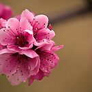 Peach Blossom by Chris Morrison