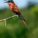 Carmine Bee Eater by Bobby McLeod