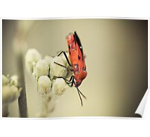 Blood-colored Milkweed bug Poster