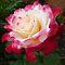 *Two colour Full Flower*