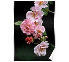 rose congregation Poster