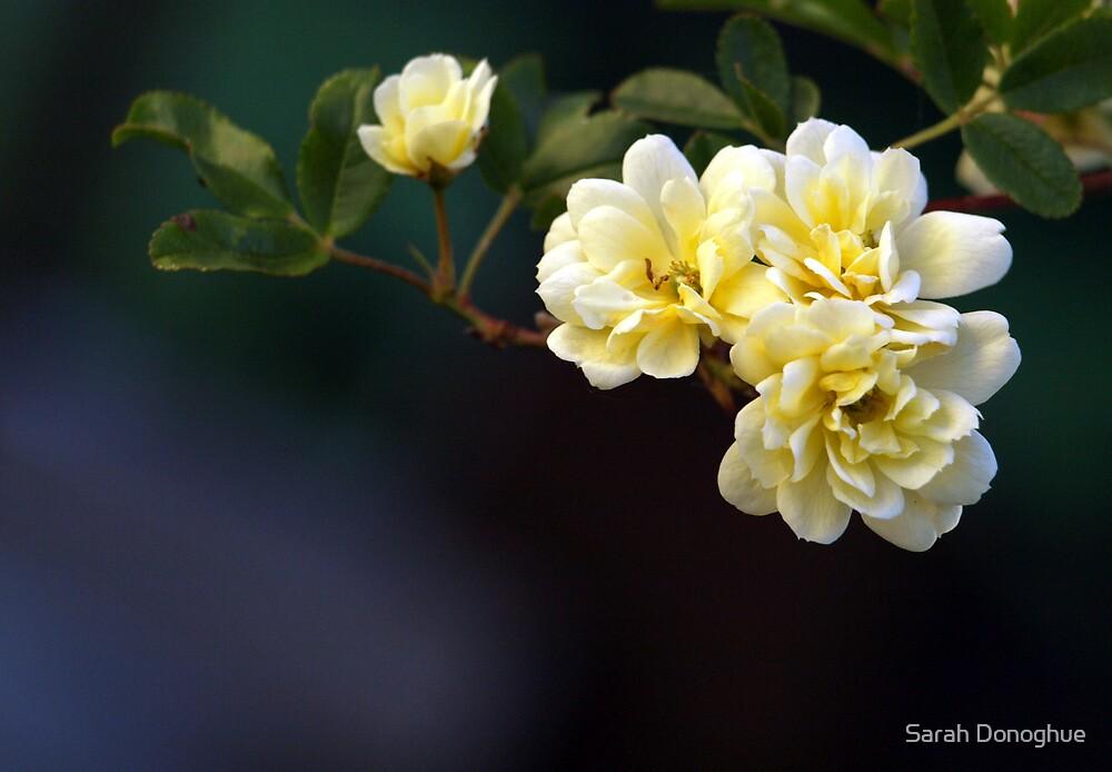 Golden Beauties by Sarah Donoghue