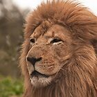 Lion At Werribee by Tom Newman