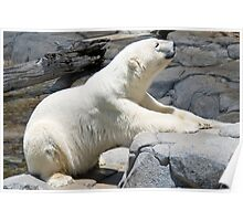 Polar Bear, Queensland, Australia Poster