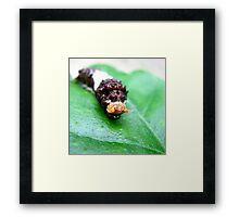 Orchard Swallowtail Larvae Framed Print