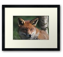 Fox stare Framed Print