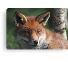 Fox stare Canvas Print