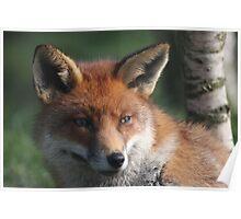 Fox stare Poster