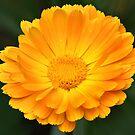 Calendula by PhotosByHealy