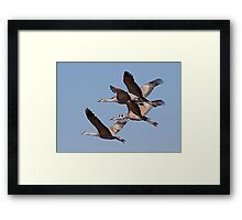 012811 Sandhill Cranes Framed Print