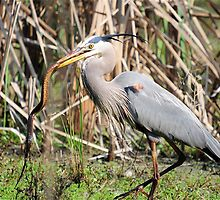 Great Blue Heron Catches Swamp Snake by imagetj