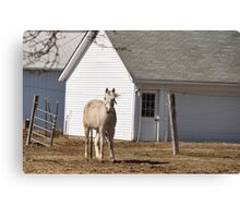 Horse on a windy day Canvas Print