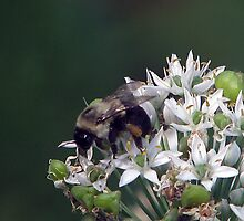 Bumble Bee by DottieDees