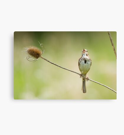 Song Sparrow on thistle Canvas Print