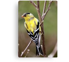 Male American Goldfinch~ Breeding Colors Canvas Print